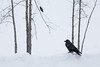 Two ravens along the road in heavy snow. One in tree.