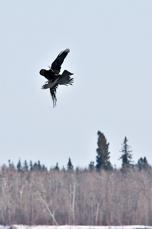 Raven (larger bird) being harrassed by crow over the Moose River at Moosonee 2009 April 19th. Cropped image.