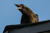Juvenile raven on roof; beak open showing pink interior.