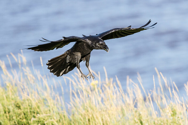 Raven preparing to land, wings out straight, feet down.