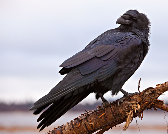 Raven perched on part of a cut down tree along the banks of the Moose River at Moosonee.