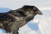 Raven tugging on a plastic bag