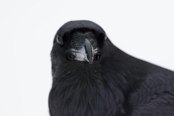Raven, beakshot, eyes out of focus.