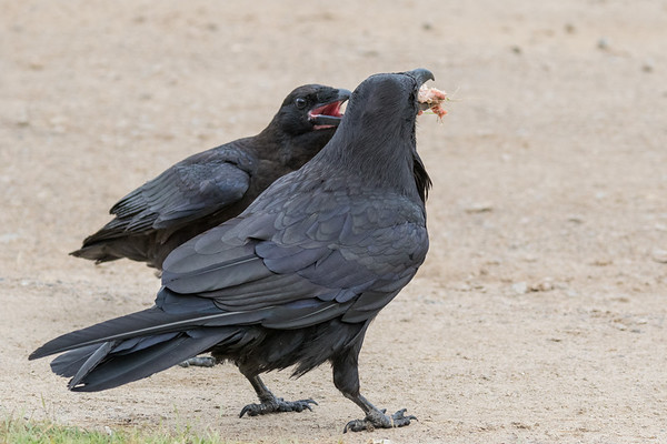 Adult raven in foreground with a piece of meat, juvenile raven behind with beak open showing pink mouth.
