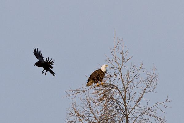 Raven flown past bald eagle in tree