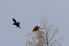 Raven flown past bald eagle in tree