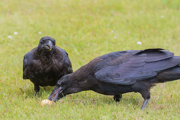 Two juvenile ravens sharing an egg.