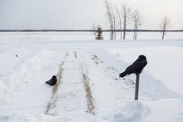 Ravens on newly plowed front walk. One waiting on top of cigarette receptacle.