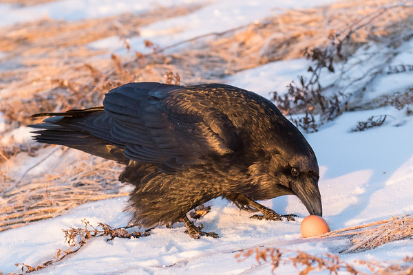 Raven starting to eat an egg on the riverbank at sunrise.