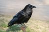 Raven sitting on water shut off.
