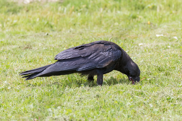 Junveile raven trying to pick up something from the ground.
