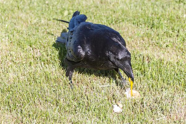 Raven eating egg yolk.