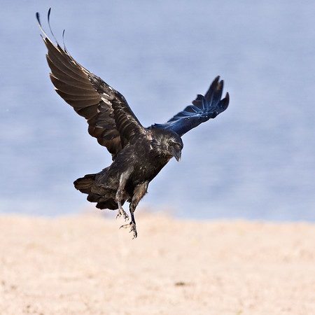 Raven about to land, wings up, feet down.