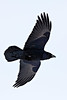 Raven, overhead, wings outstretched