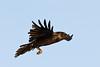 Raven in flight,wings out.
