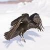 Raven landing, wings down, legs down