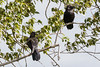 Two junveile ravens in the trees.