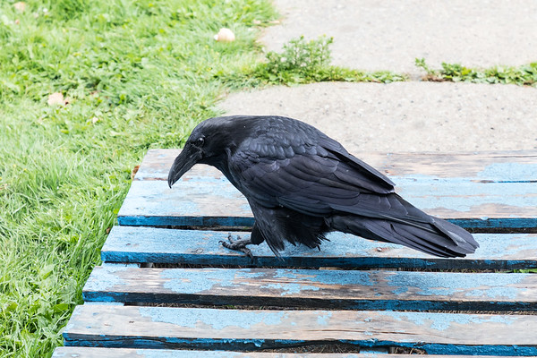 Raven contemplating a piece of food that has slipped into a crack.