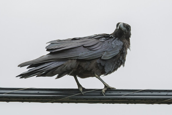 Juvenile raven on communications cable.