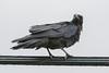 Juvenile raven on communications cable.