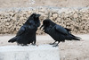 Beaks open, two ravens at public docks site in Moosonee. One with nictating membrane partially over eye.