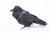 Raven in snow during heavy snow fall. Feathers spread.