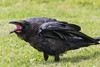 Juvenile raven with beak open, side view, part of tail out of frame