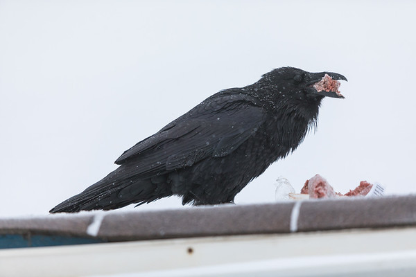Raven eating lean ground beef on shed roof in Moosonee.