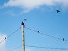 Raven on utility pole being harassed by small birds and a crow.