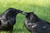 Two ravens in the grass touching beaks.