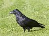 Raven on grass