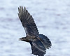 Juvenile raven in flight, beak slightly open, wings out, wing tips out of focus. Tail spread.