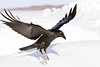Raven landing, wings half up, legs down, one wingtip slightly out of frame