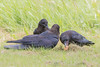 Adult raven (foreground) with two juveniles,, one of which is trying to figure out how to eat an egg.