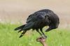 Adult raven on water shut off.