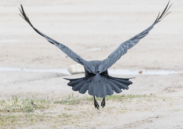 Raven flying away.