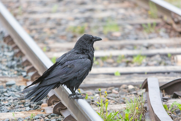Adult raven sitting on railway tracks in Moosonee.