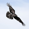 Raven in flight, one wing bent, one wing outstretched.