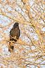 Raven sitting ina tree.