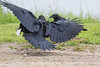 Adult raven with food in foreground with juvenile in background. Second juvenile arrives (somewhat blurry).