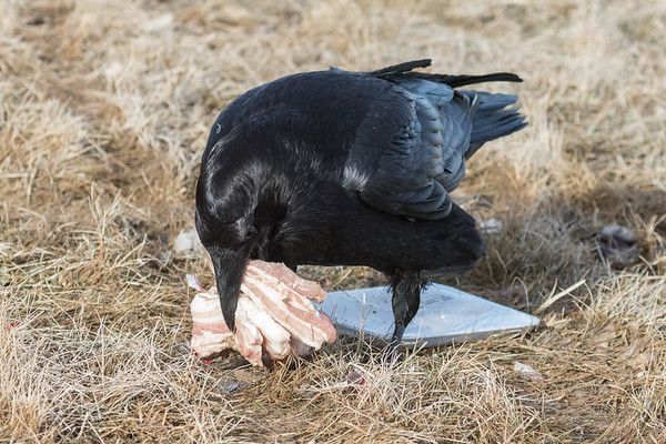 Raven attempting to pick up all of the pieces of meat.
