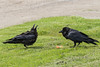 Juvenile raven at left crying for food to adult raven at right with egg.