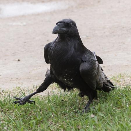 Raven walking on a windy day.