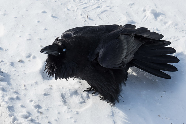 Raven with feathers spread. Nictating membrane over eye.