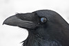 Head shot of Common Raven. Nictating membrame covering half of eye.