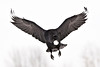 Raven flying, egg in mouth, wings outstretched, wing tips pointing up