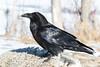 Raven along Revillon Road in Moosonee
