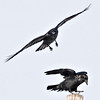 Only one raven can sit on a given utility pole, losing bird flies off after dispute over a perch, cropped to 1280 pixels square