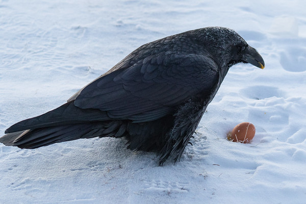 Frosted raven enjoying an egg on a cold morning in Moosonee. Tip of tail out of frame.