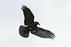 Raven overhead, wings out, feet extended, tail spread.